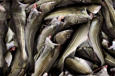 Iceland Raises Cod and Haddock Quotas, With Haddock Finally Seeing Some Improvements