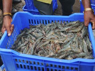 India: Shrimp Demand May Lift Seafood Exports to $6 Billion