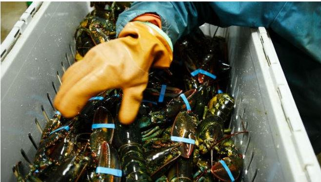 Shadow Markets Mask the Size of China's Demand for Lobster