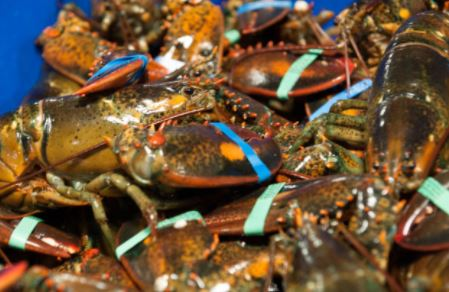 Maine Lobster Industry Gears up for Peak Season